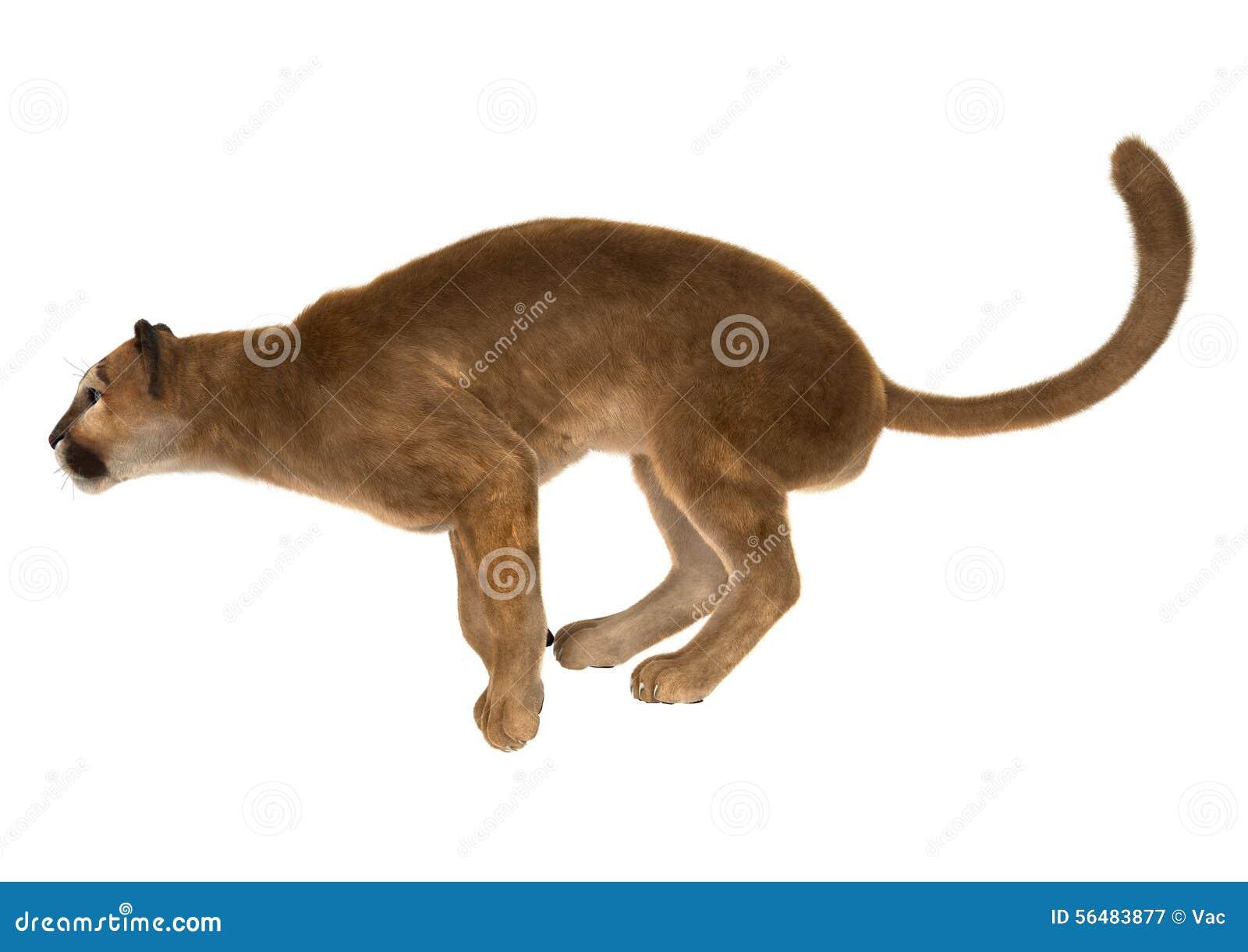 Puma de grand chat