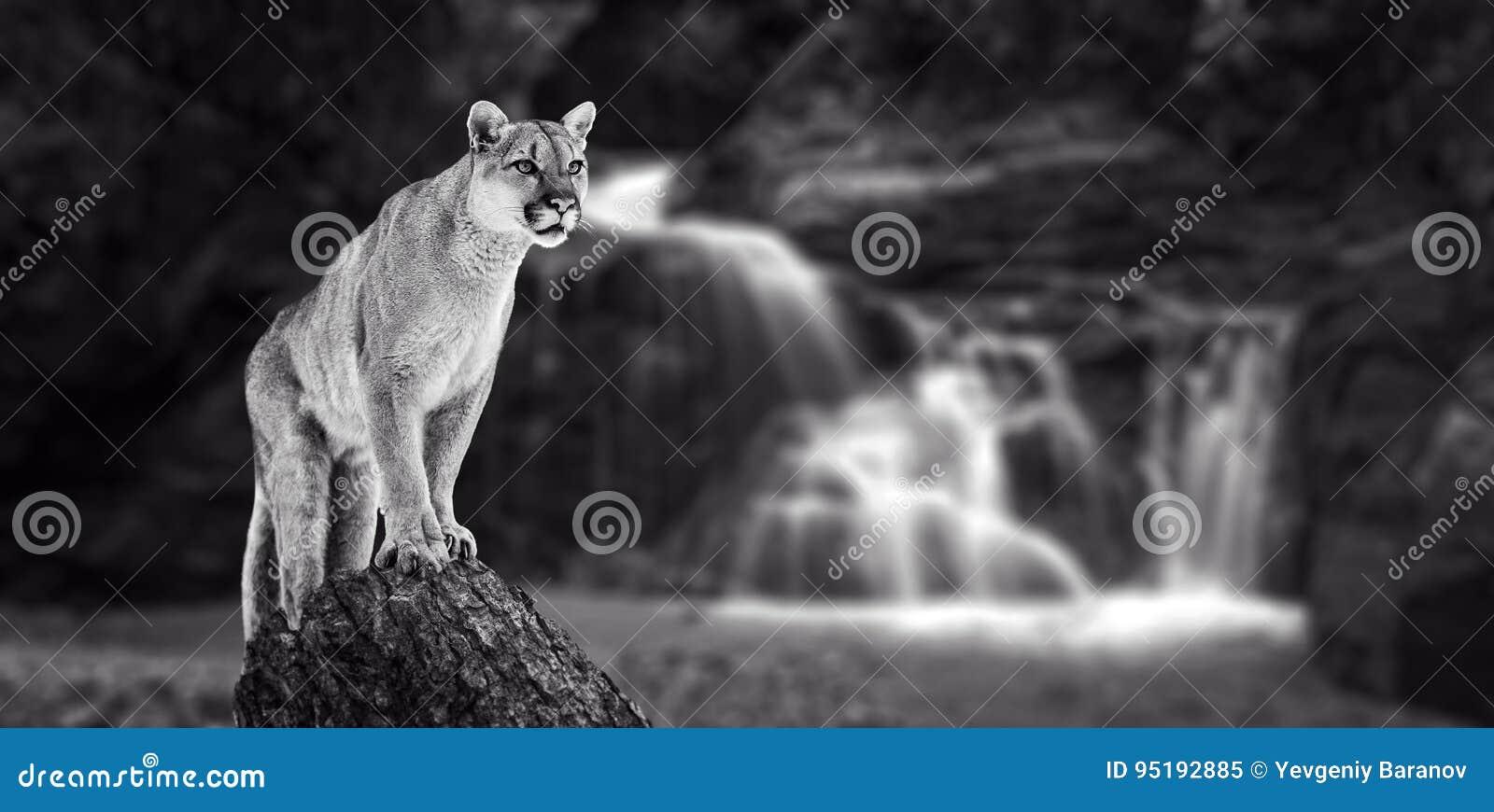 Puma an den Fällen, Berglöwe