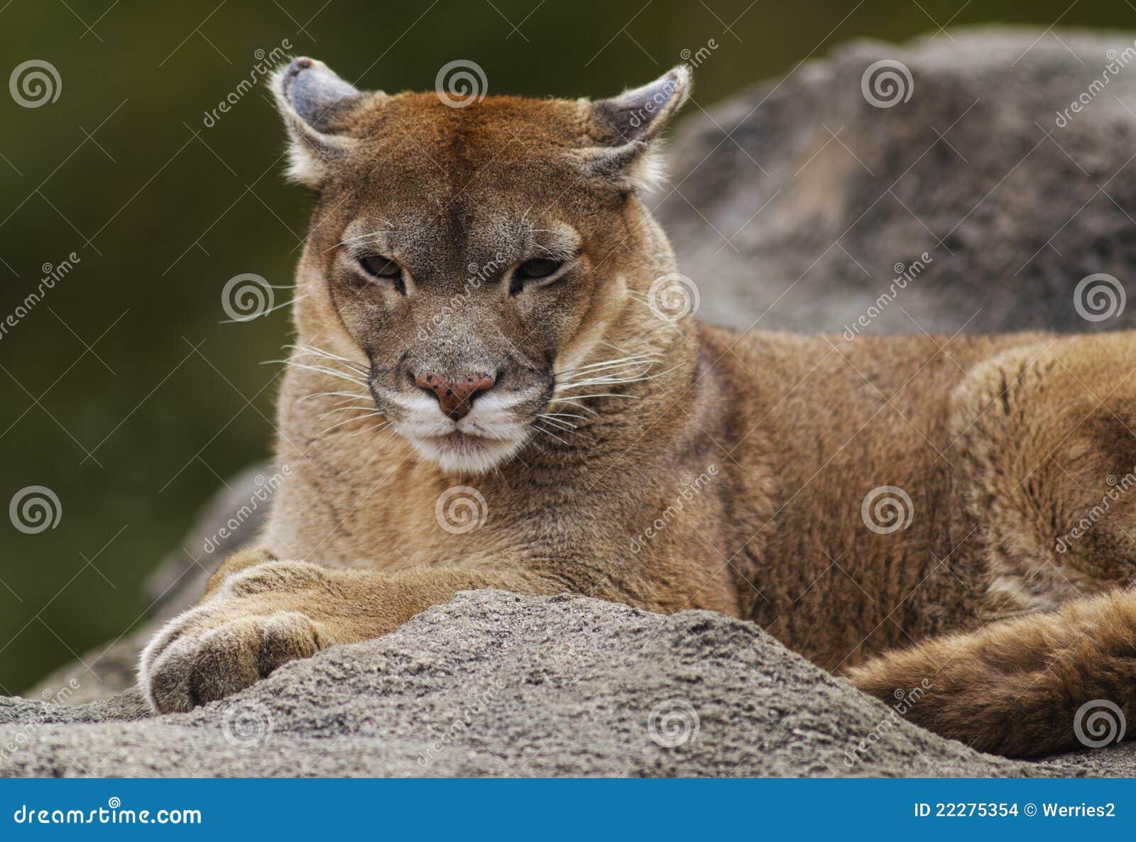 femelle du puma