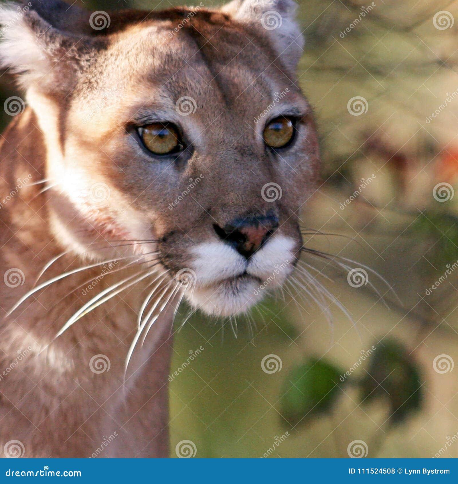 Puma, leão de montanha, ou puma