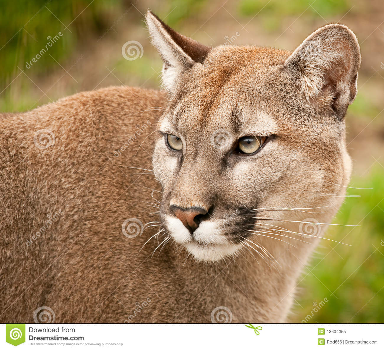 deer cougar women Women in their 30s are behind first surge in abortion  'he's eyeing me up like i'm a black-tailed deer': dramatic moment a 140-pound cougar stalks a canadian man.