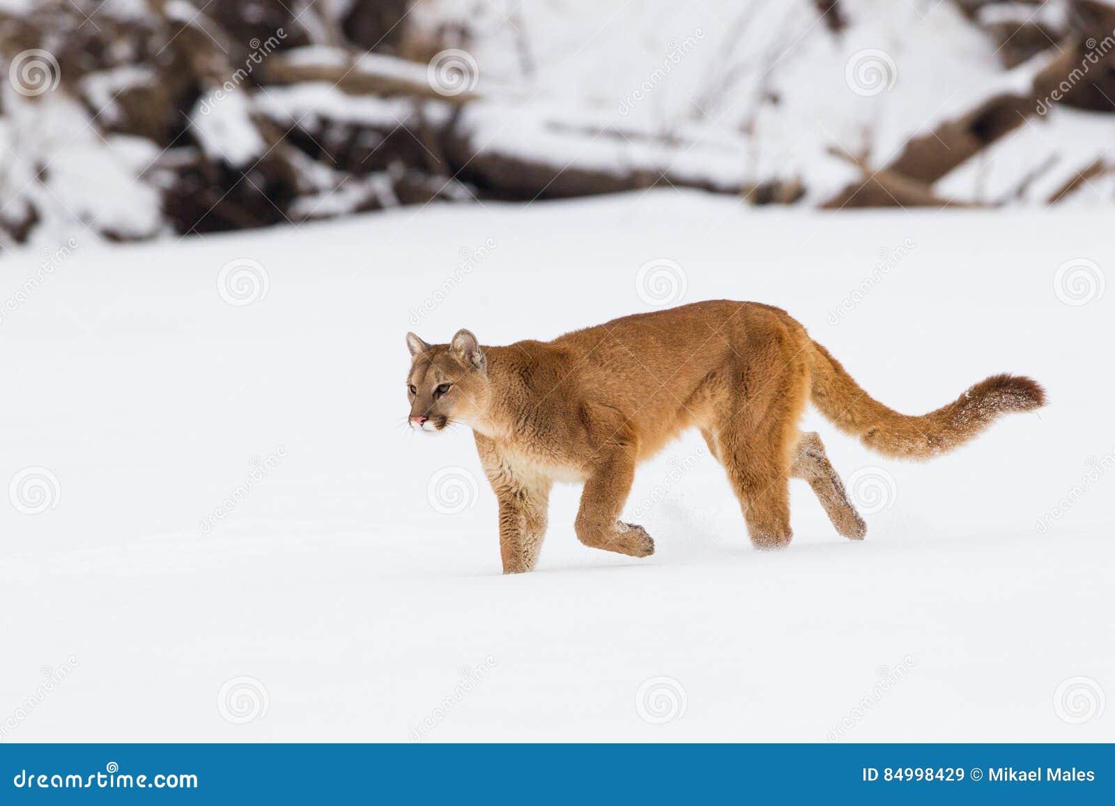 Puma på en jakt
