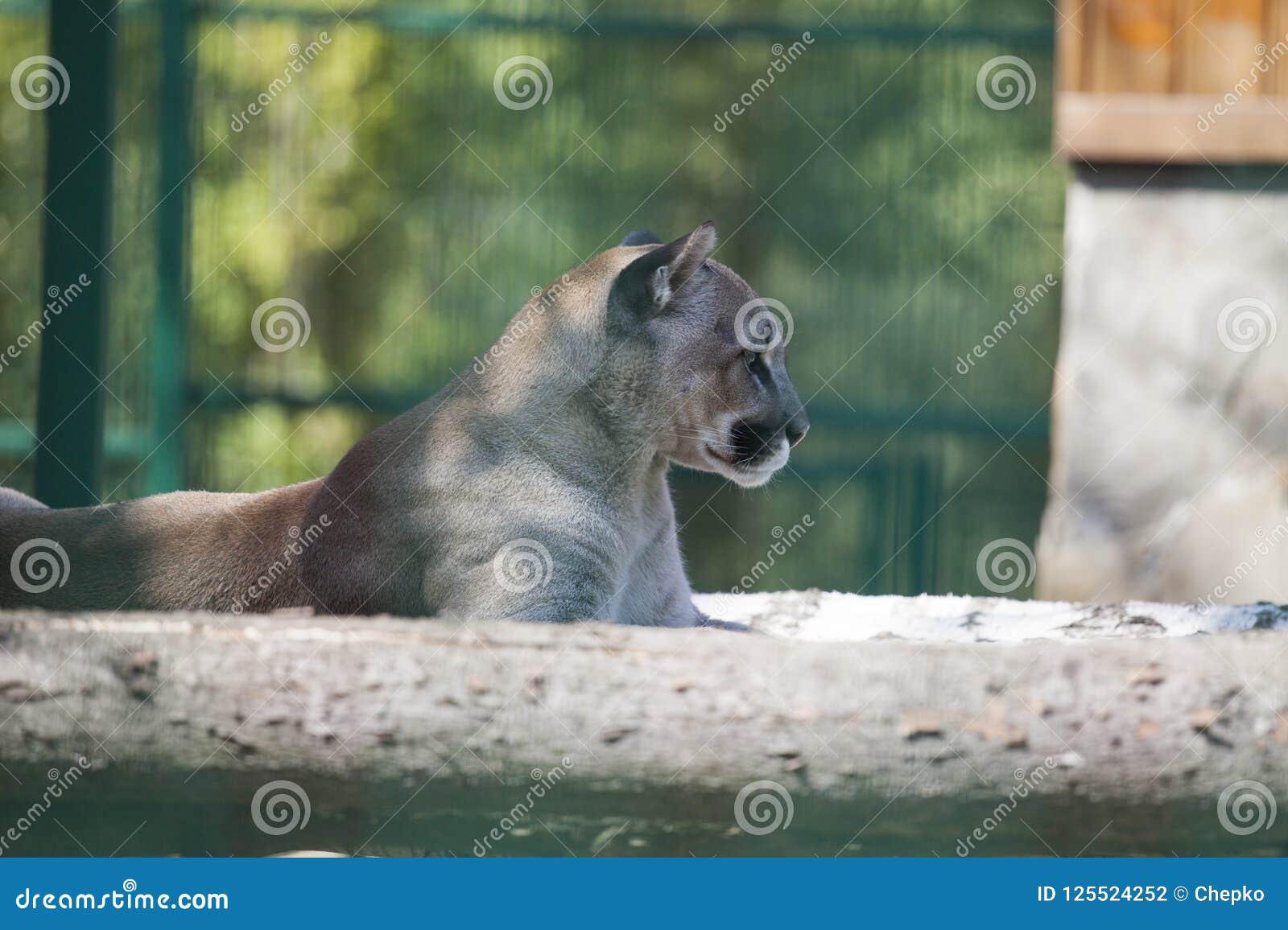 Puma, Pumaporträt auf grünem Hintergrund