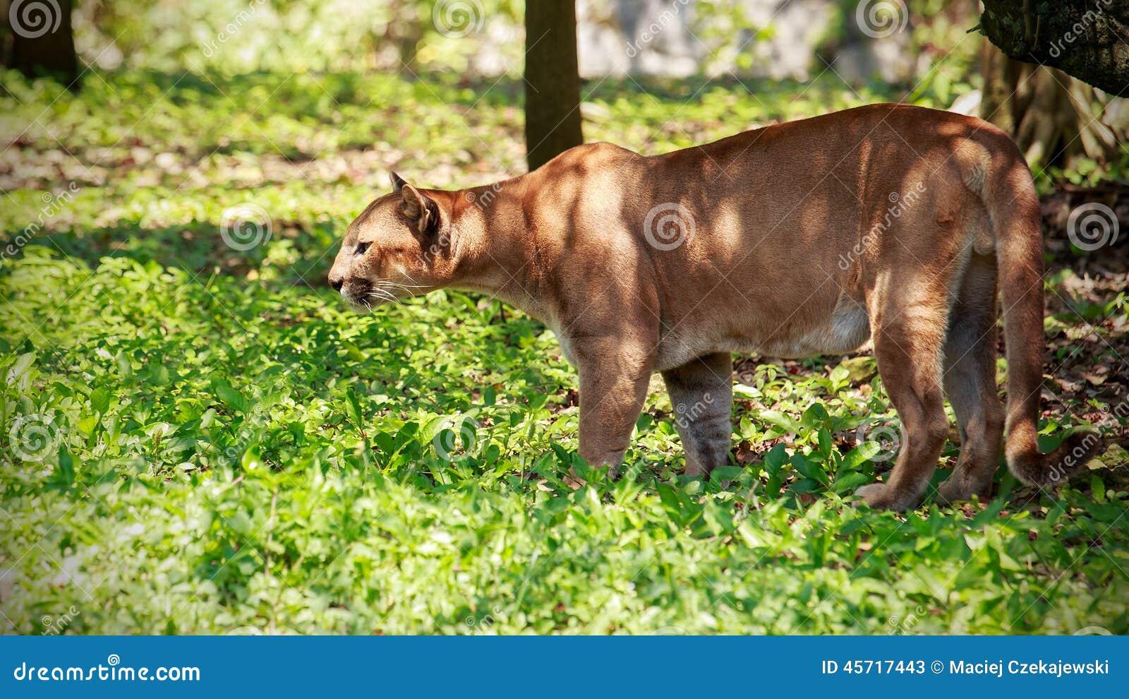 puma sauvage en france