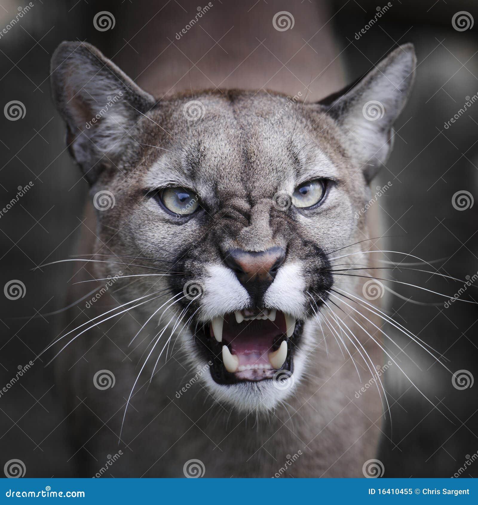 Puma Snarling