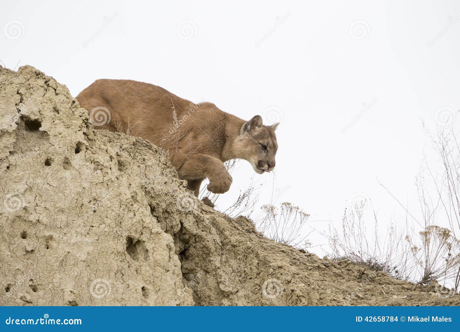 Puma som förföljer in mot rov