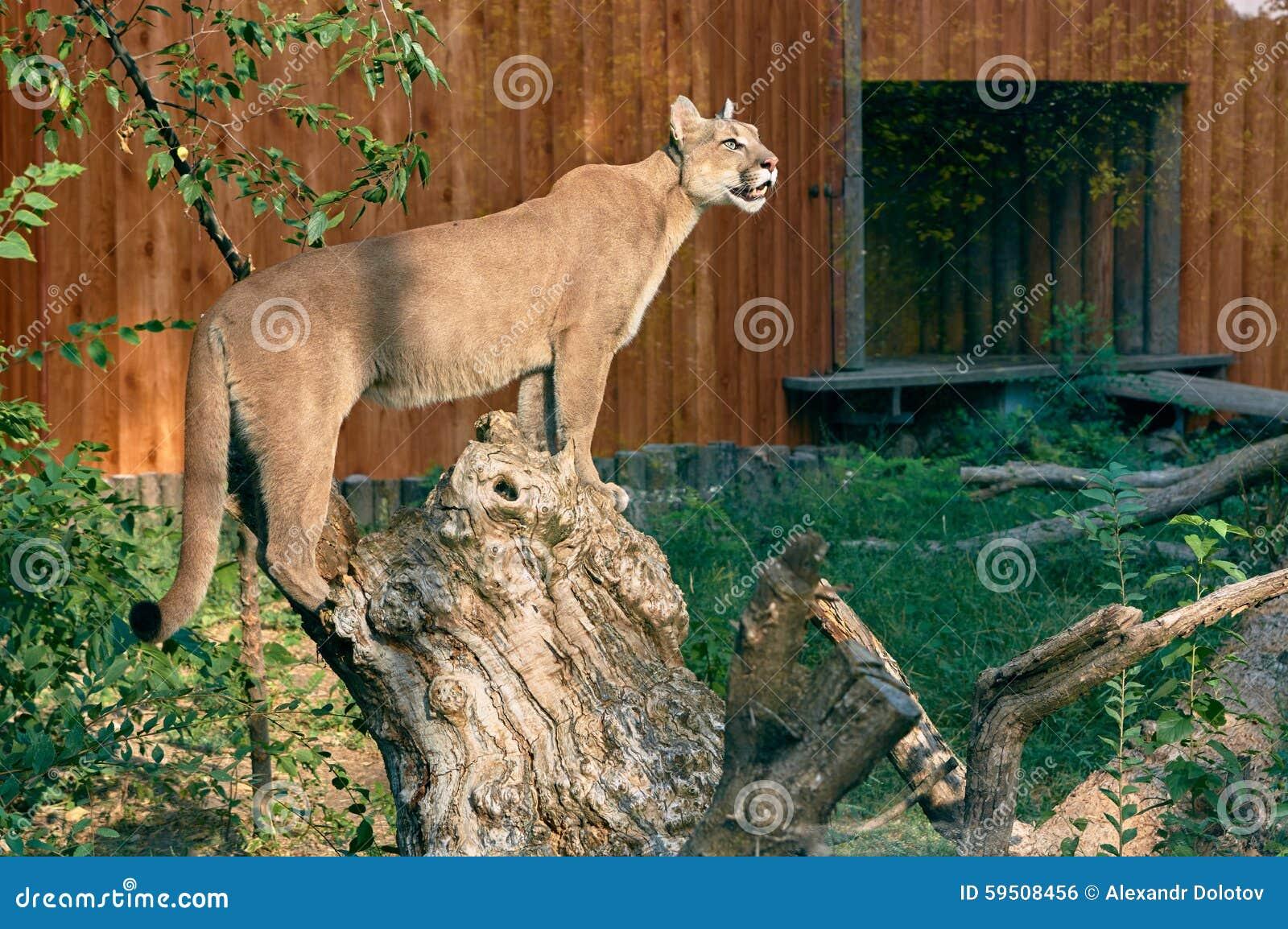 Puma sur un tronçon d arbre