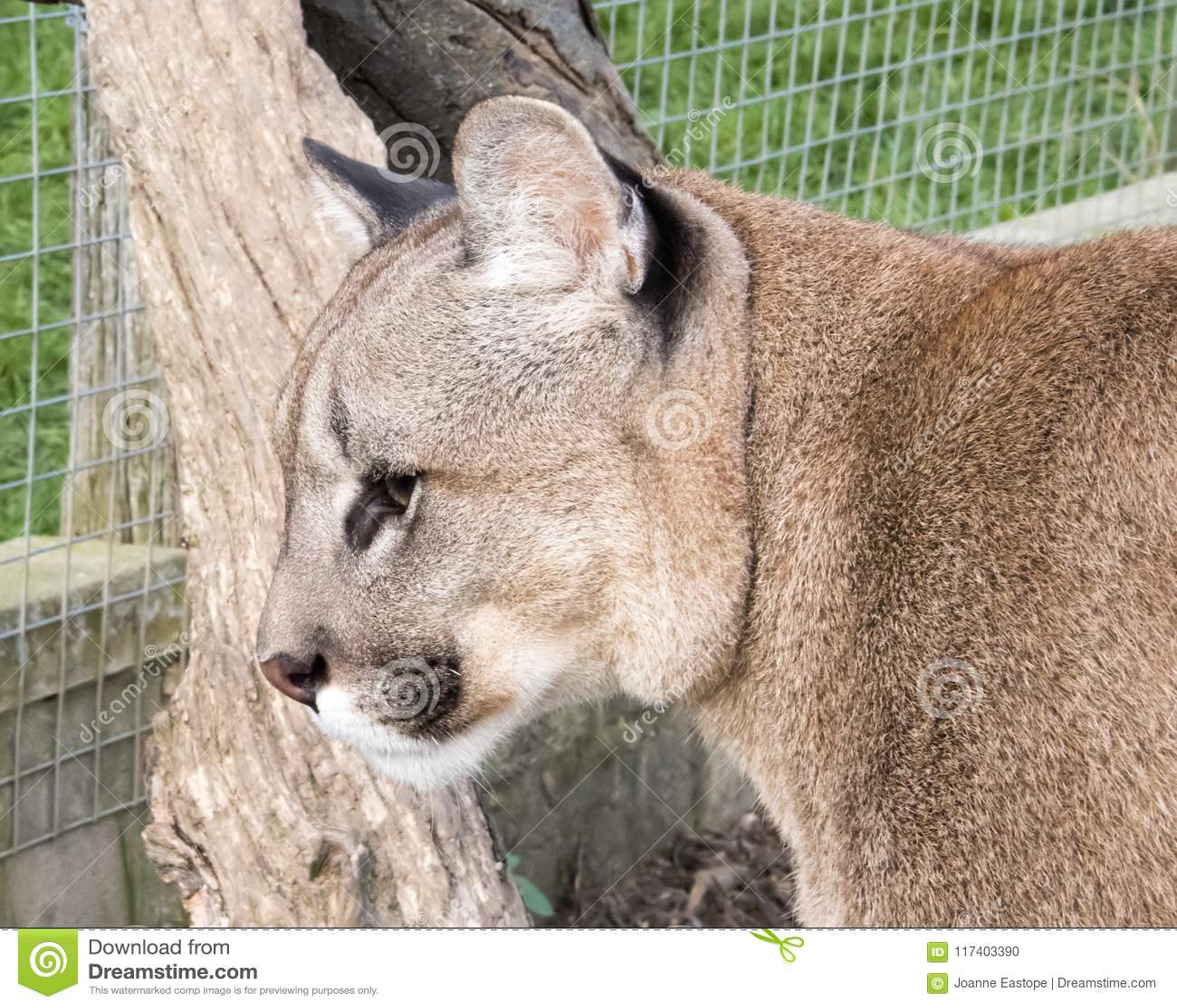 Puma w niewoli - zakończenie up