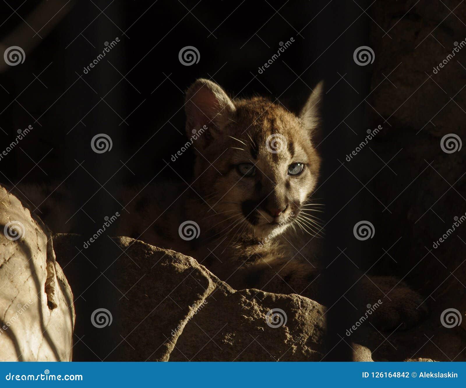 Pumas de bébé derrière des barres dans le zoo