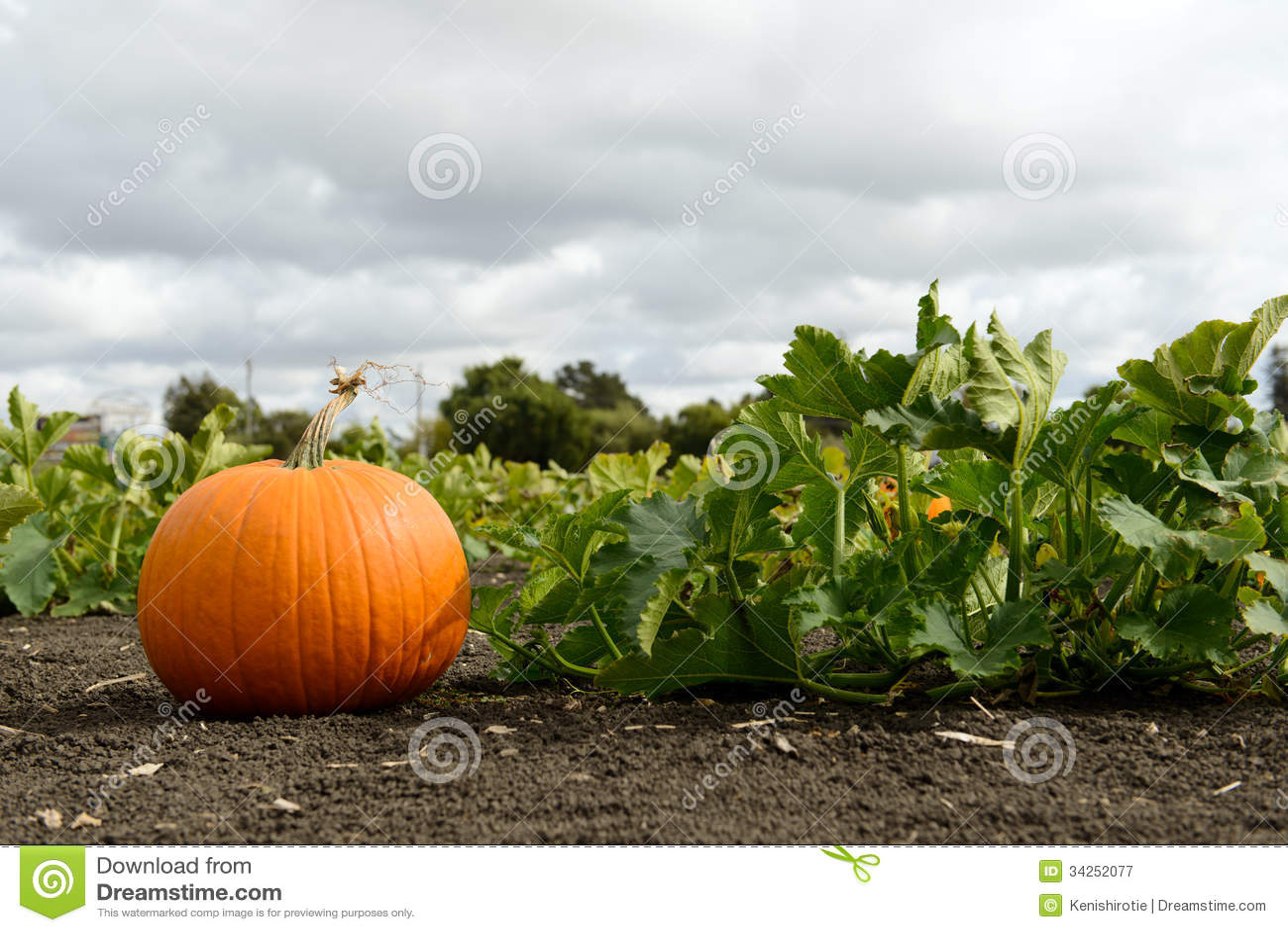 Pumkin Patch Stock Image. Image Of Field, Farm, Produce