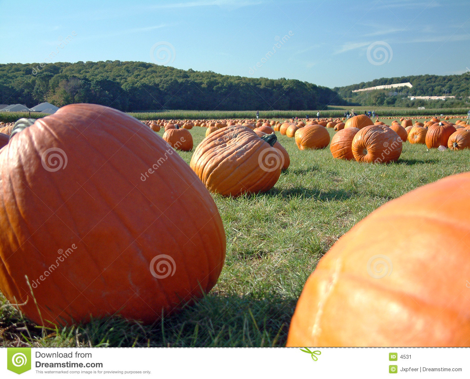 Pumpkin field 3