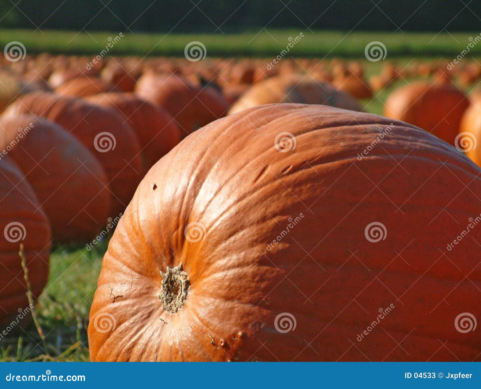 Pumpkin field 5