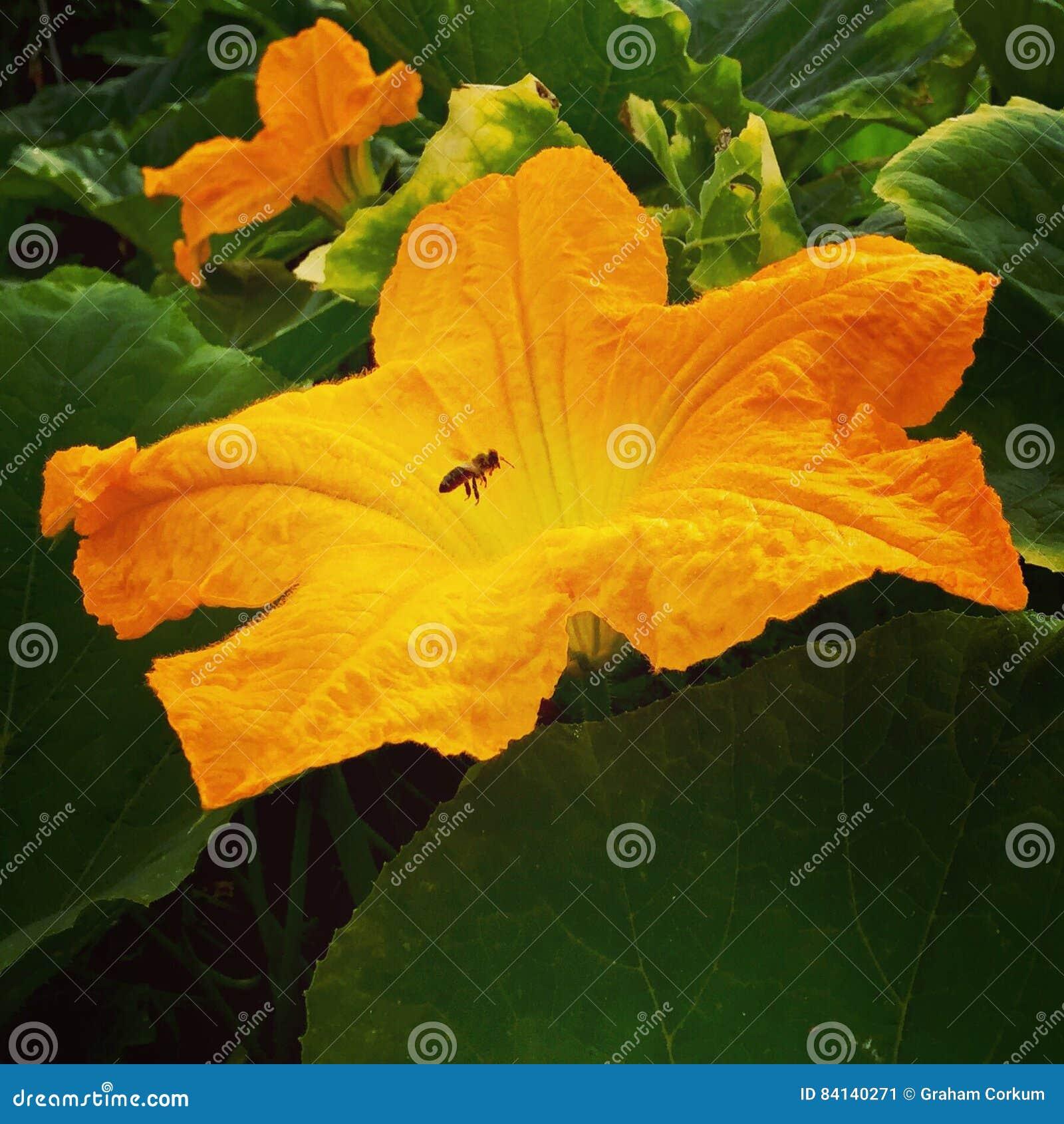 Pumpkin flower.