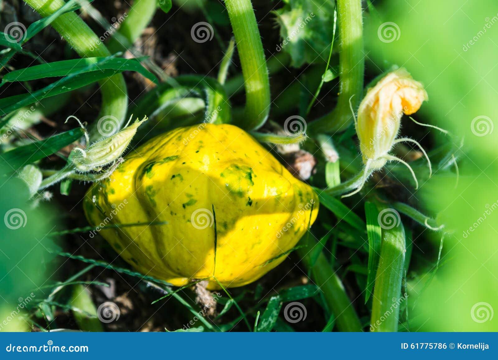 Pumpkin fruit on plant