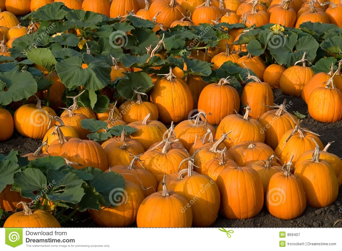 Pumpkin Patch Royalty Free Stock Photography Image 869407