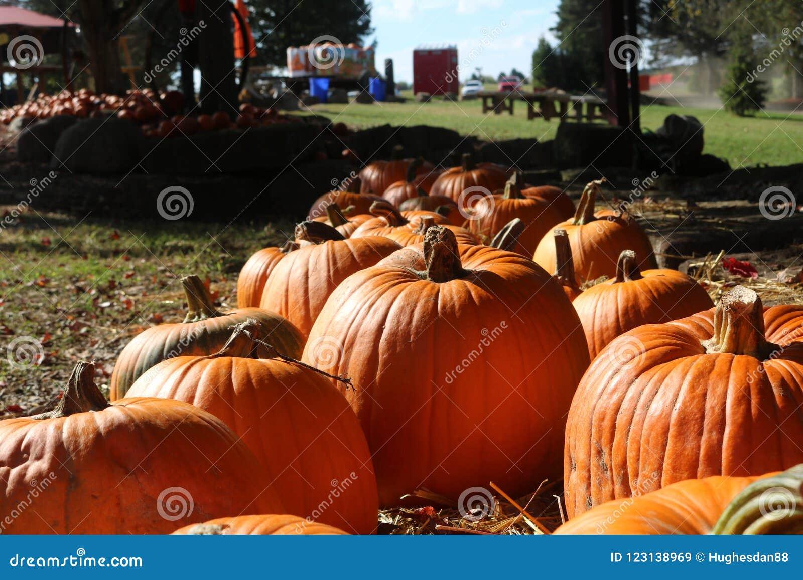 Pumpkin patch in autumn