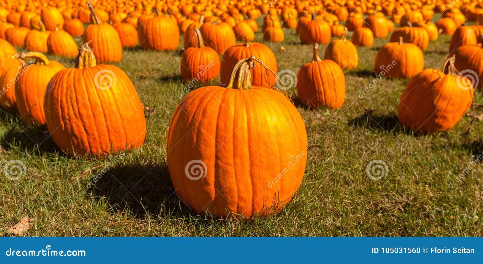 Pumpkin Patch Field With Bright Orange Pumpkins On Green