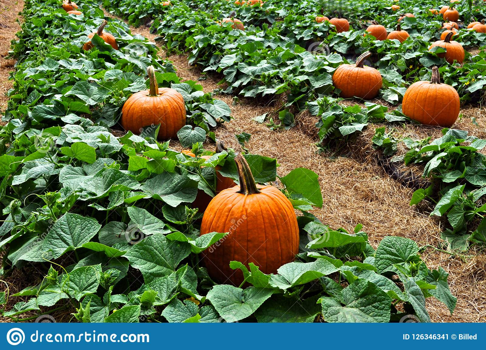 Pumpkin Patch Field With Lush Green Leaves Stock Image