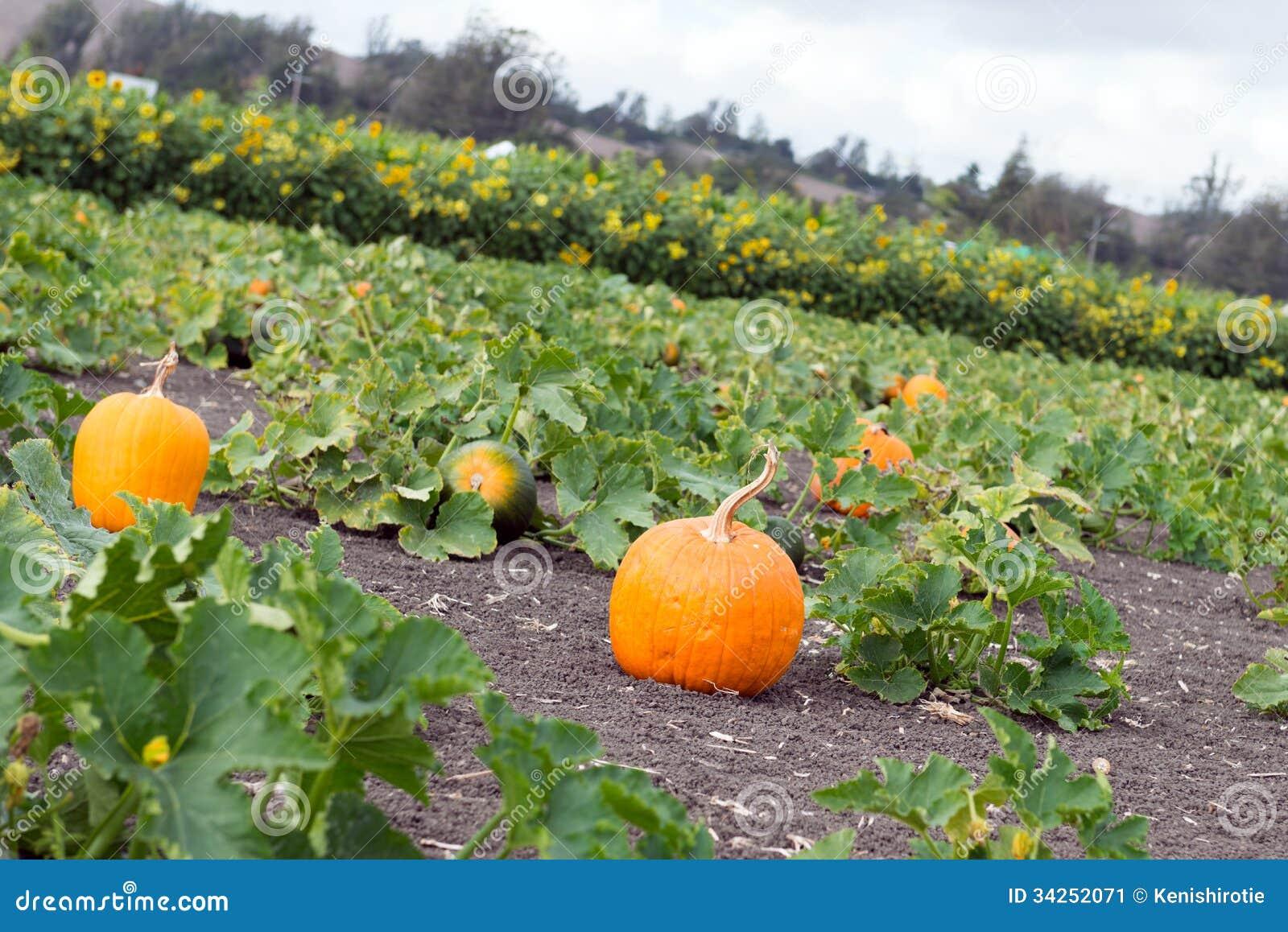 Pumpkin Patch Stock Image. Image Of October, Harvesting