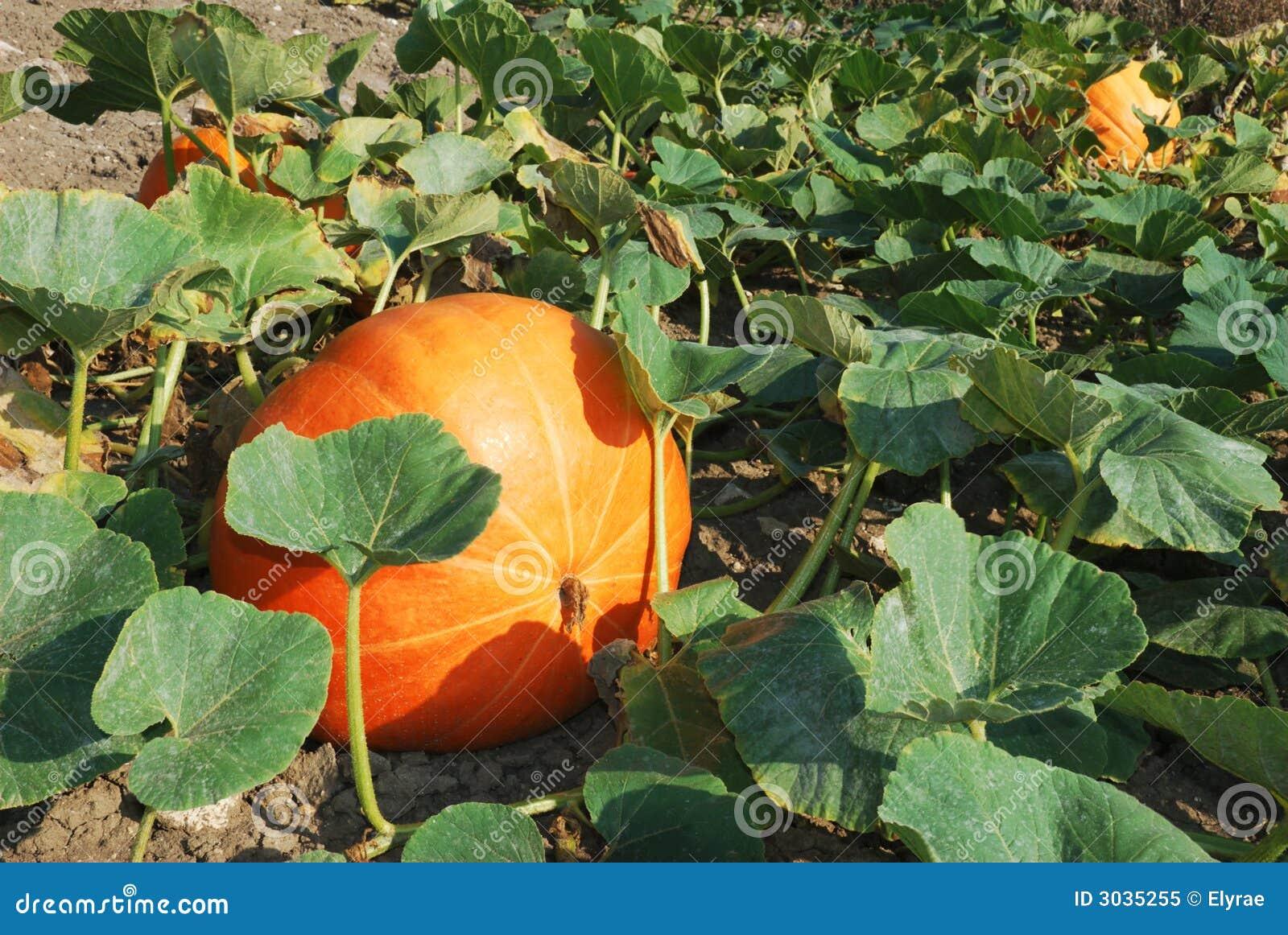 Pianta Di Zucca Di Halloween.Pumpkin Plants Stock Image Image Of Cultivation Leaf 3035255