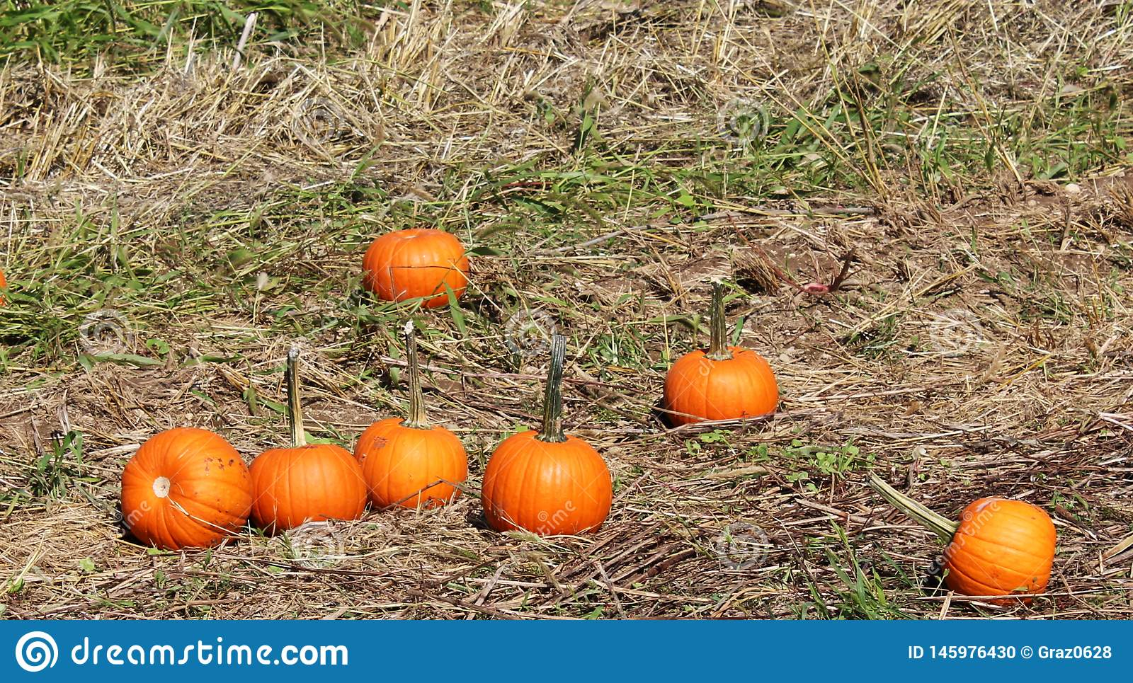 Pumpkins in the grass at pumpkin patch