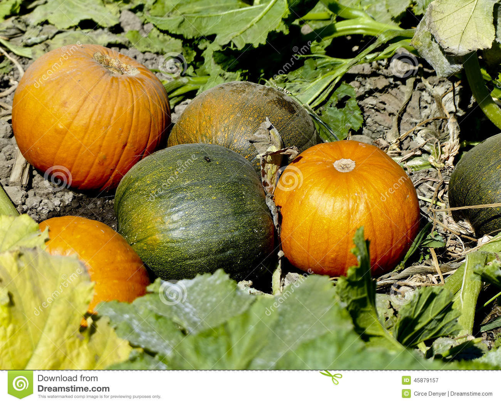 Pumpkins Ready To Pick Stock Photo