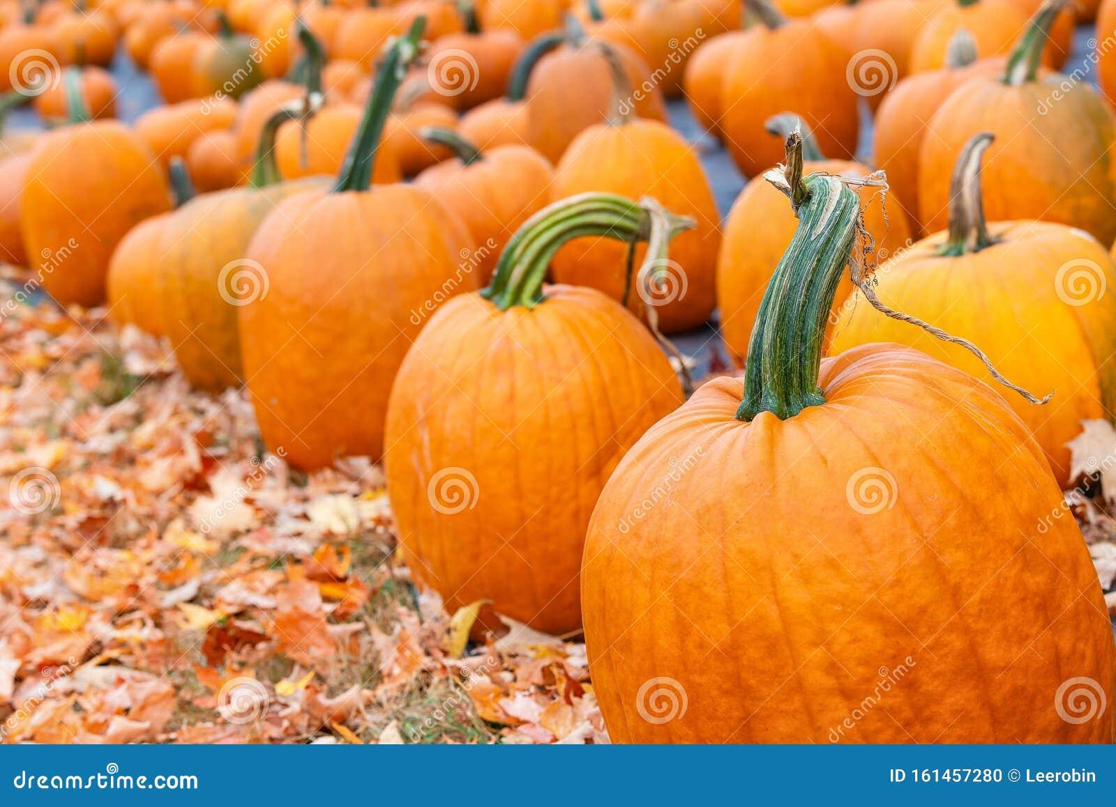 Download Pumpkin Patch Zurich Switzerland Free