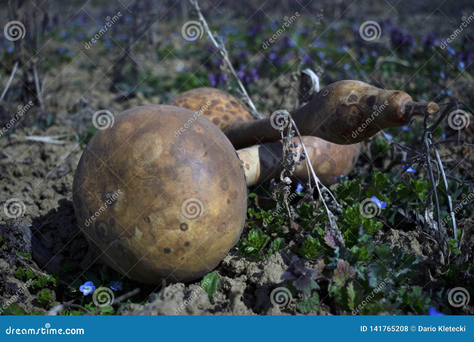 Pumpor i ett gräsfält med oskarp bakgrund