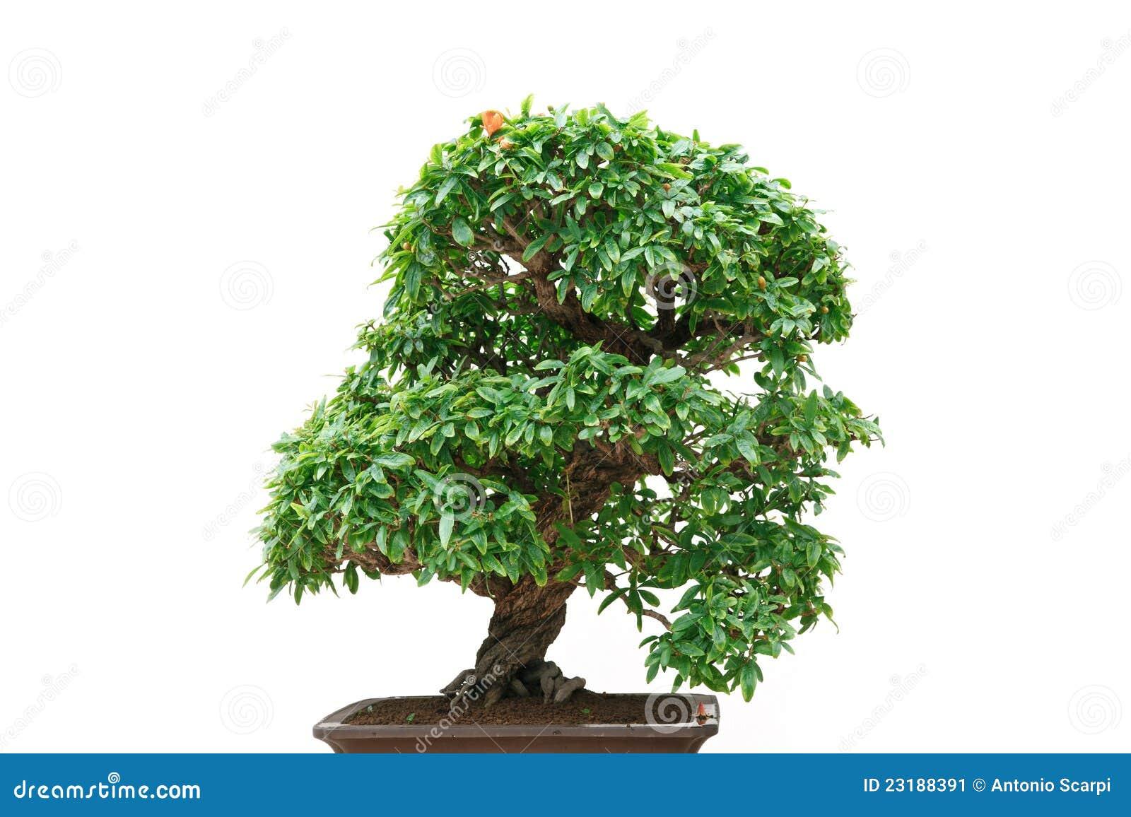 Punica Granatum Bonsai Tree Stock Image Image Of Oriental Detail