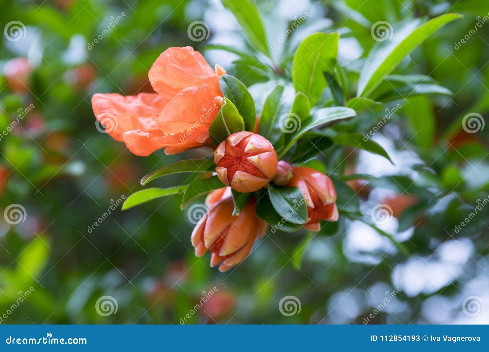 Punica Granatum Pomegranate Tree In Bloom Stock Image