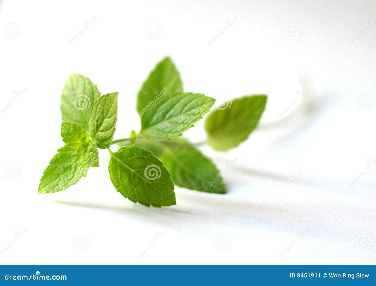 Puntilla de las hojas de menta