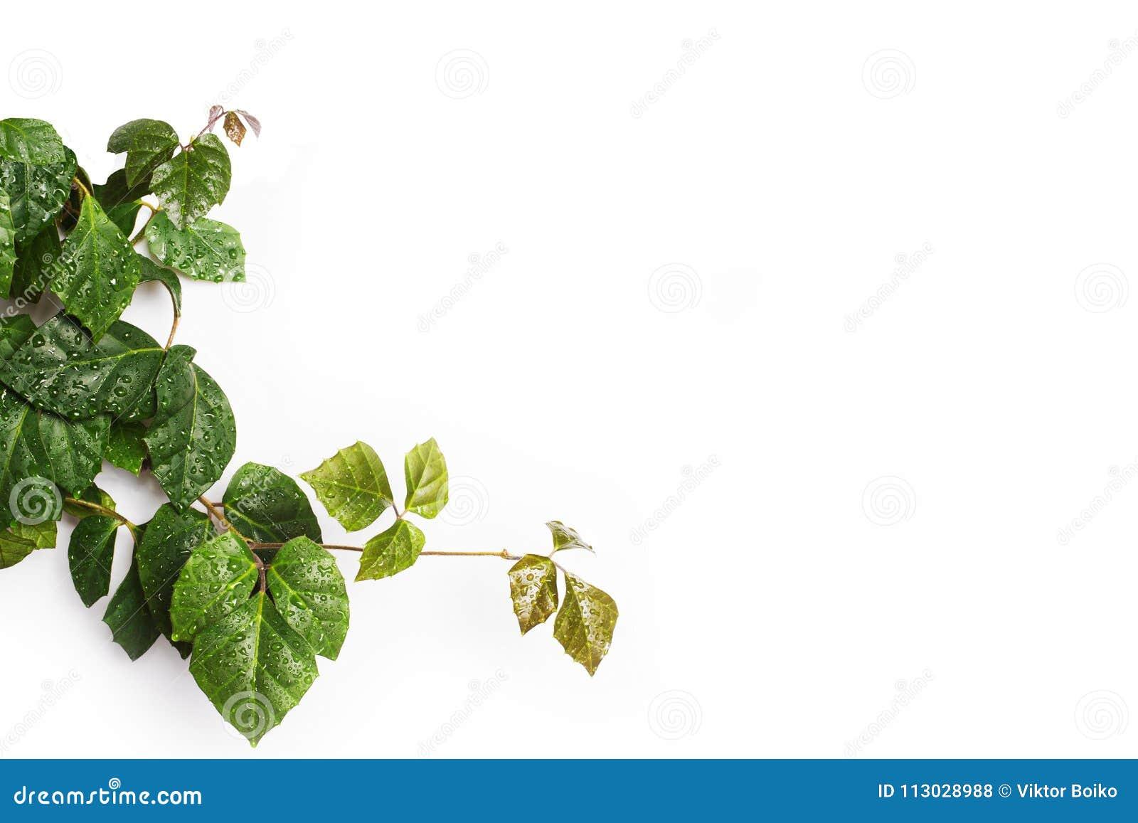Puntilla de lianas verdes de mimbre en blanco