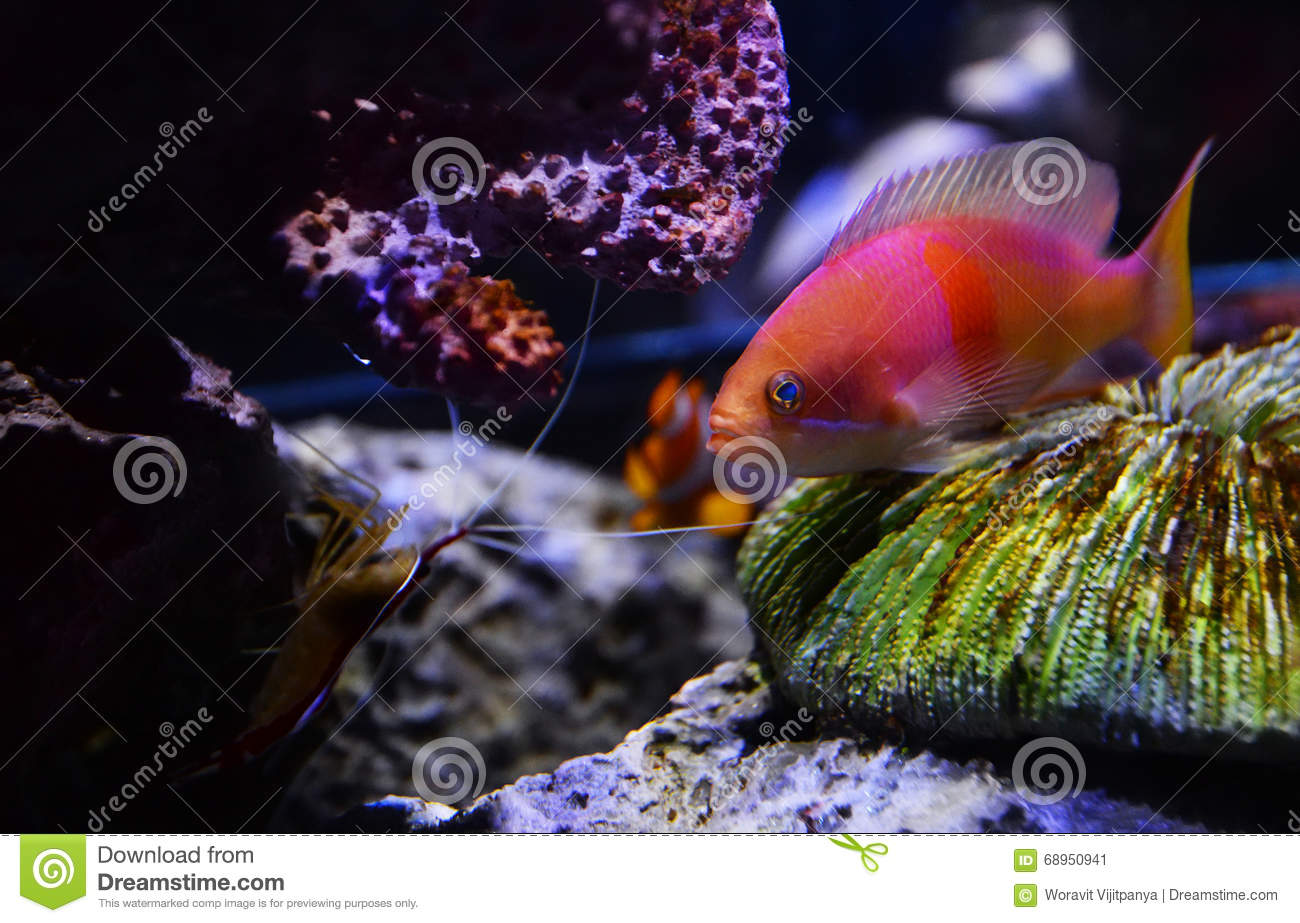 Punto cuadrado Anthias