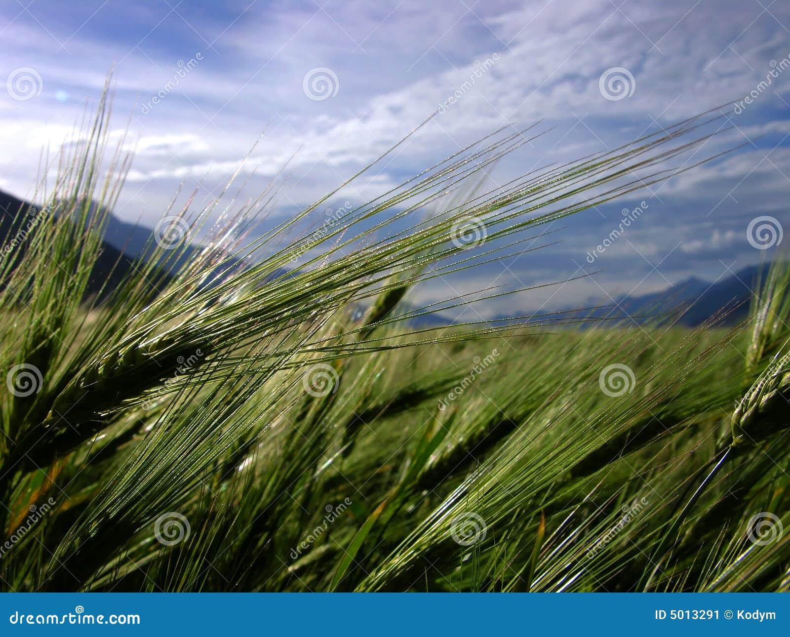 Punto de la cebada en campo
