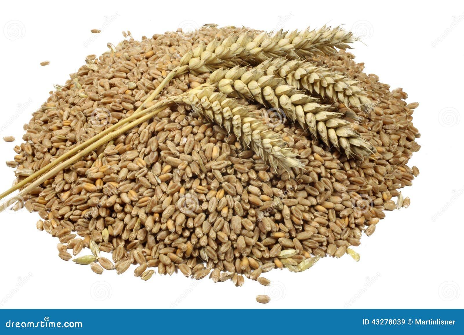 Dibujo Del Grano De Trigo: Punto De Los Granos Y De Los Cereales Del Trigo Trigo