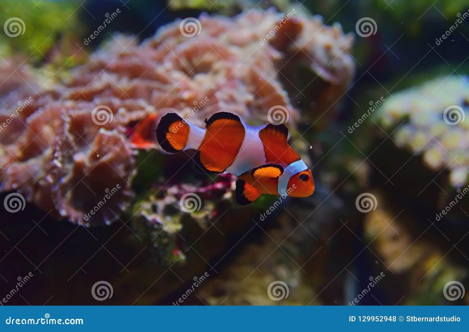 Punto di vista del primo piano di piccolo pesce del pagliaccio con differenti coralli nei precedenti