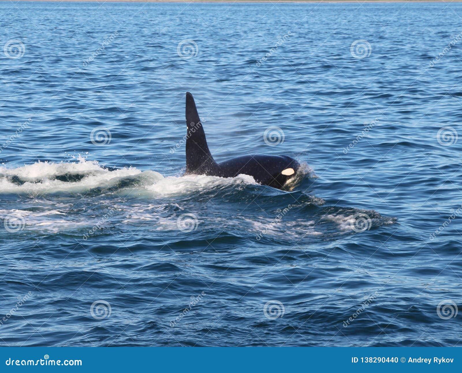 Punto di vista dell orca al disopra della superficie vicino alla penisola di Kamchatka, Russia