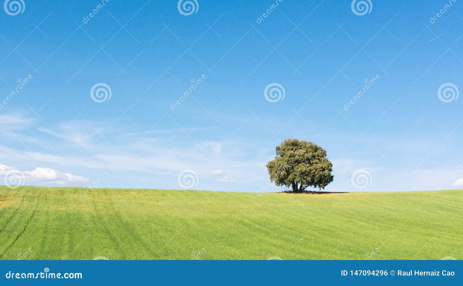 Punto di vista di stupore della quercia di leccio isolato su un giacimento di grano verde, sotto un cielo blu pulito