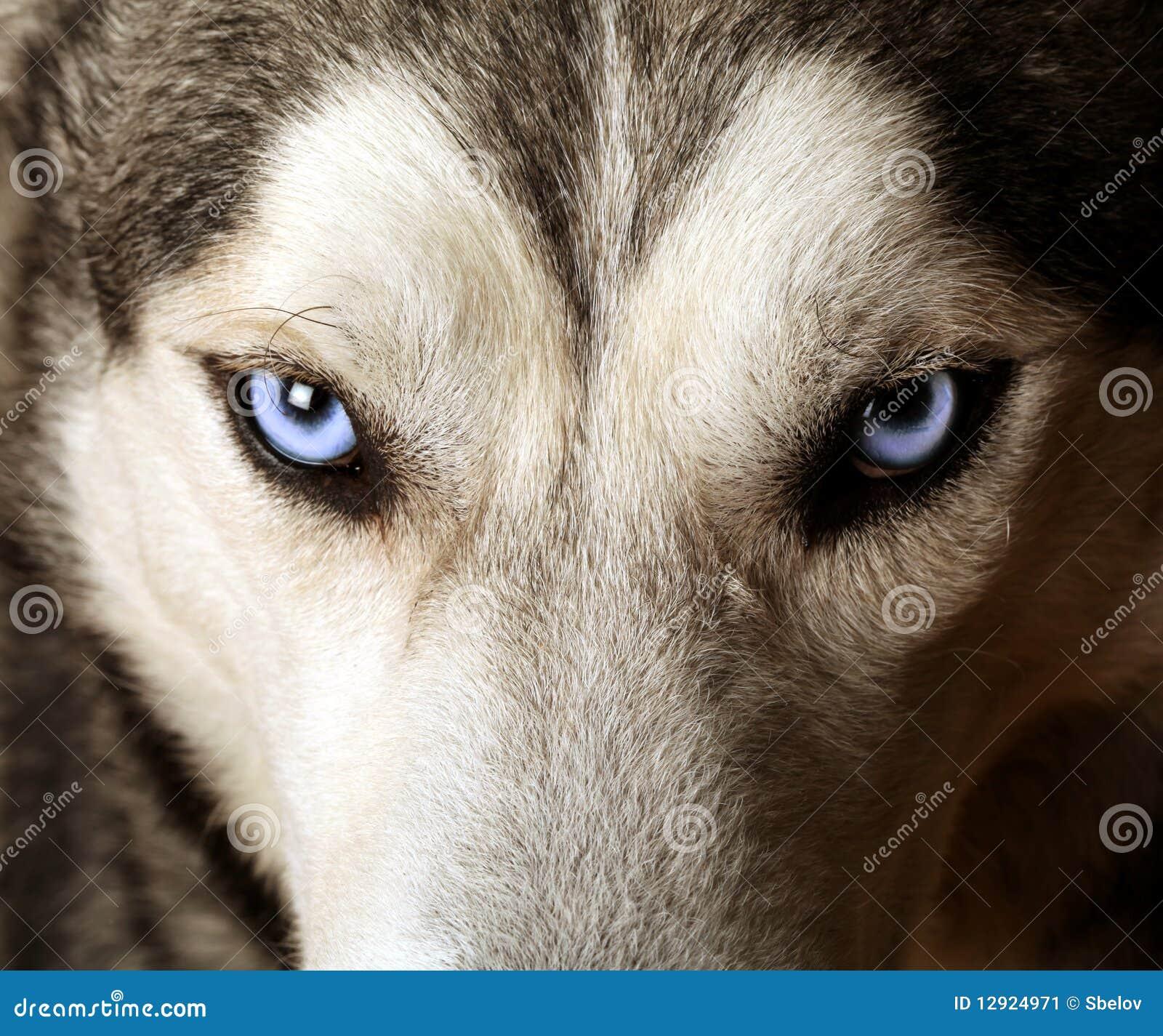 Punto di vista vicino degli occhi azzurri di un husky - Cane occhi azzurri ...