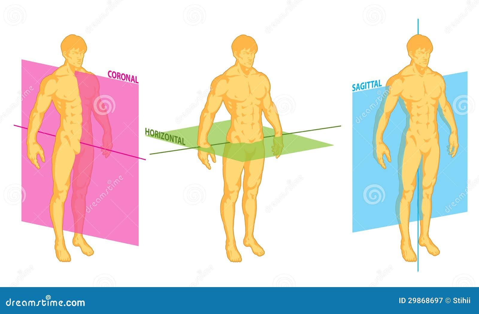 Horizontal Sagital Coronal Del Dr Stock de ilustración - Ilustración ...