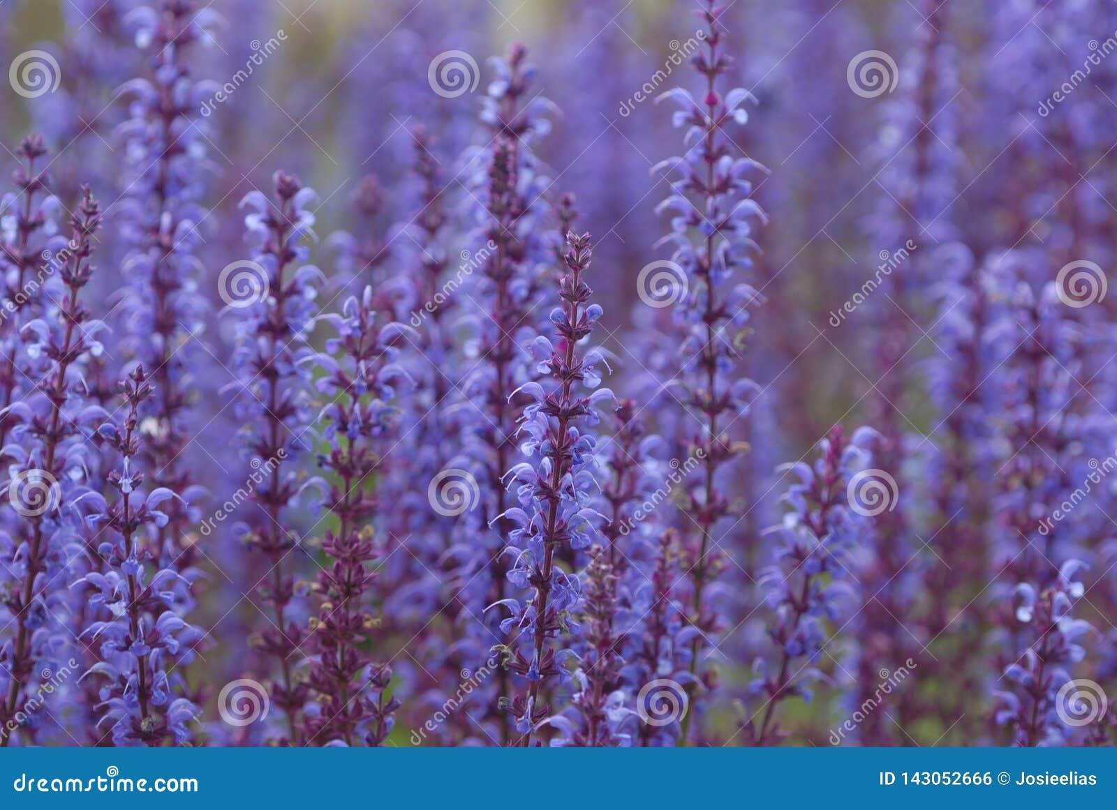 Puntos hermosos de las flores púrpuras, foco selectivo