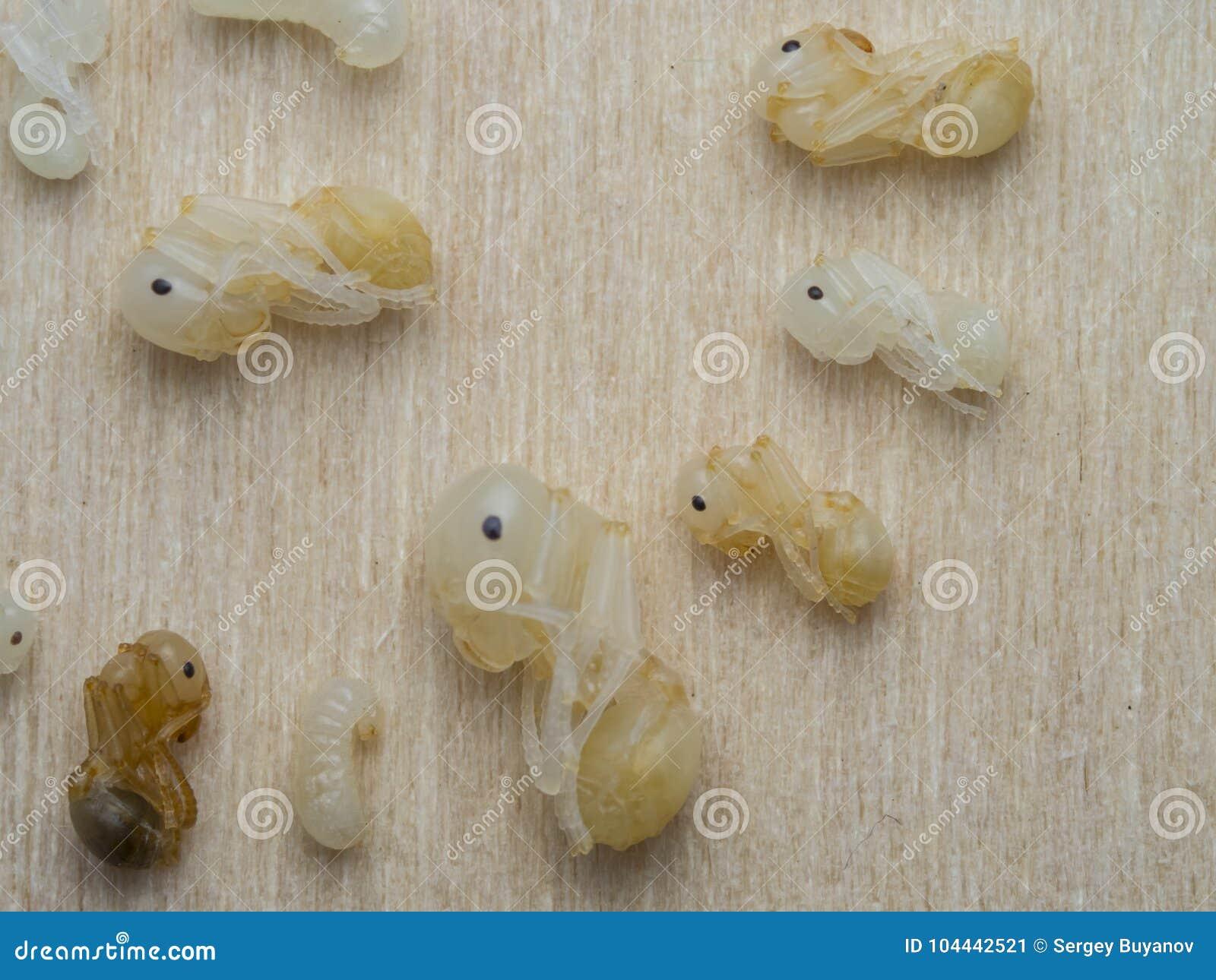 Pupe del primo piano del reaper della formica, macro Structor di Messor