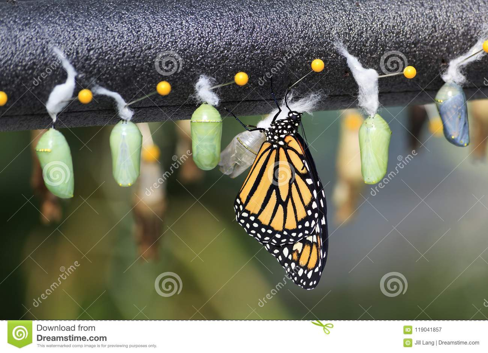 Puppa för monarkfjäril
