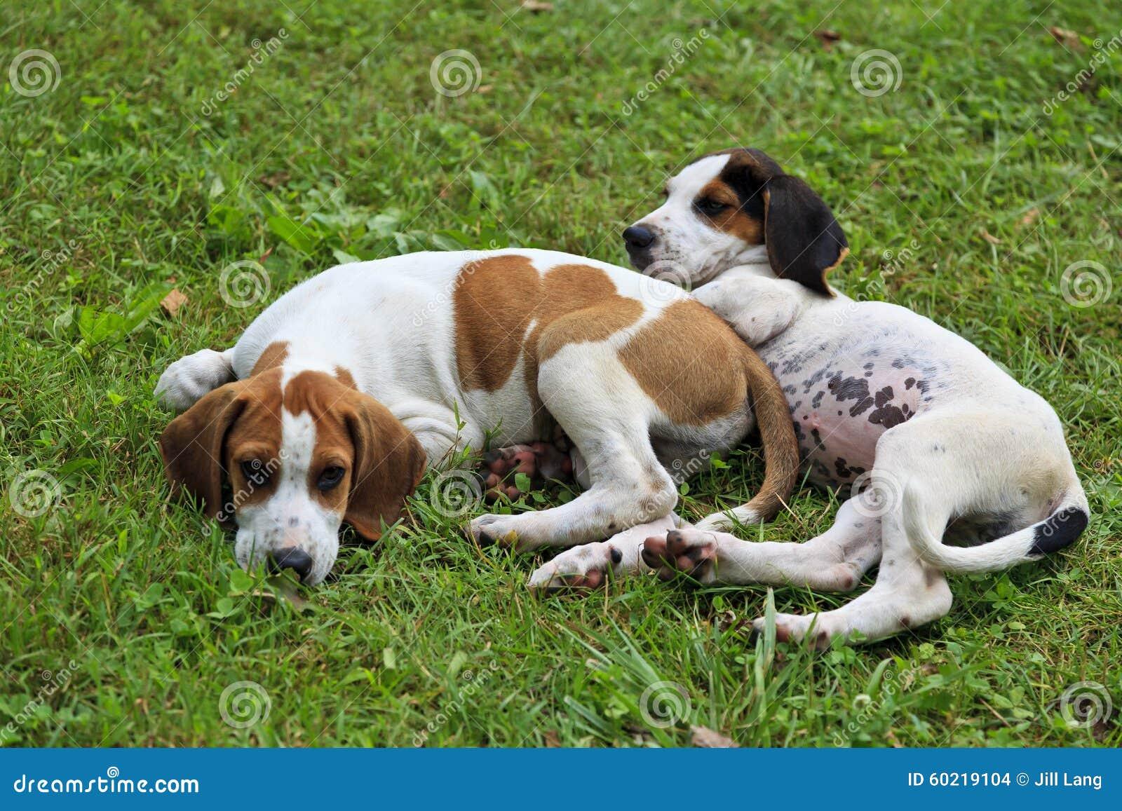 Stud Dog - Black & White Elysian CH Bloodline Basset Hound ...  |Black And White Hound Dog