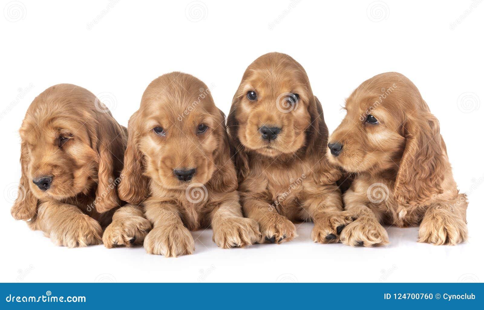 Puppies cocker spaniel