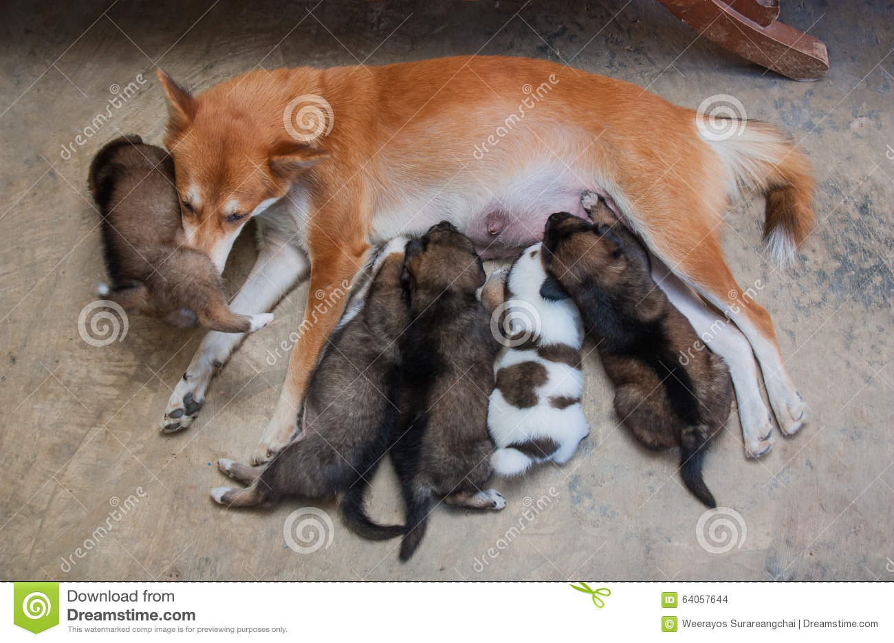 Puppies Drinking Milk From Their Mother Dog Stock Photo Image Of