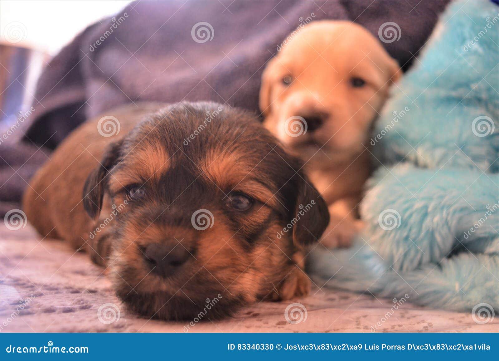 Puppies Stock Photo Image Of Eyes Jamaica Falling 83340330