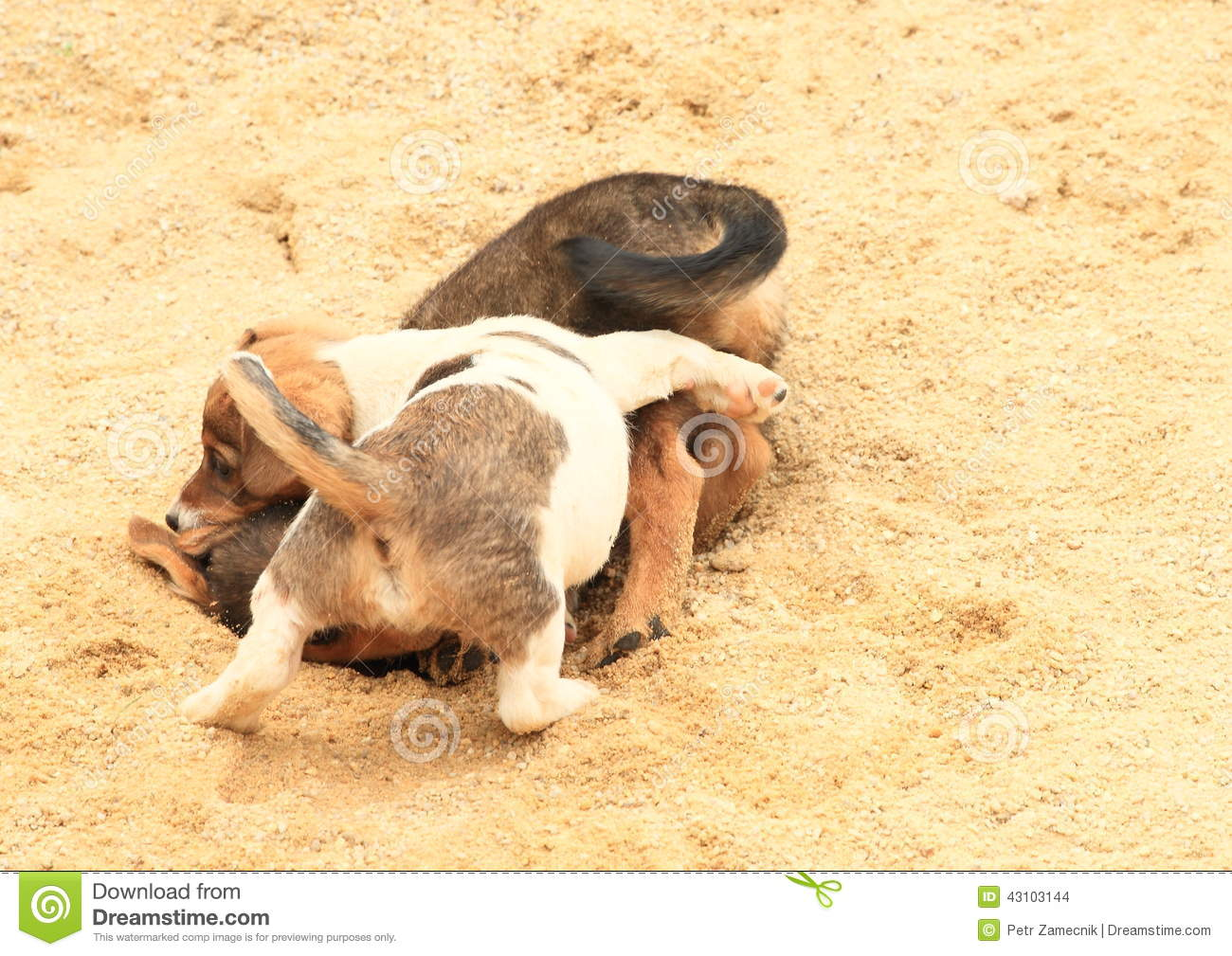 Puppies Fighting On Sandpit Stock Photo