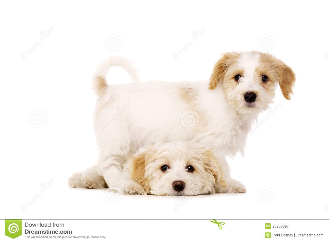 Puppies Playing Isolated On A White Background Stock Image