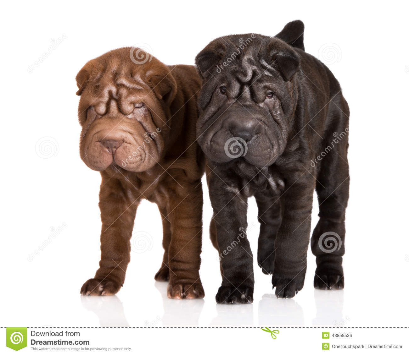 Puppies sharpei two
